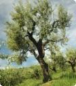 olive_tree_10