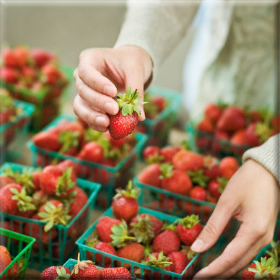Στα αζήτητα οι φράουλες τηςΜανωλάδας