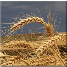 Στα ύψη οι τιμές στα σιτηρά λόγωΟυκρανίας