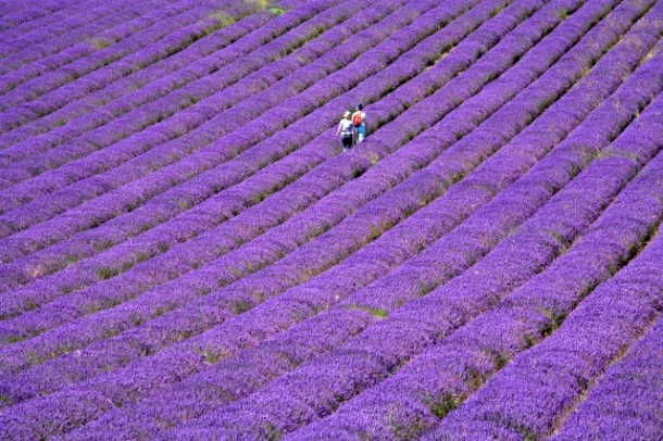 People in lavender field, Lordington Lavender Farm, Lordington, West Sussex, England, United Kingdom, Europe