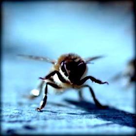 Μείωση πληθυσμών Μελισσών