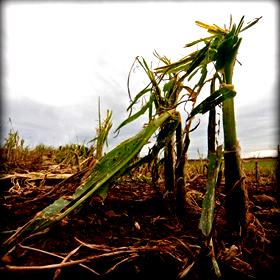 Ζημιές στις αγροτικές καλλιέργειες στην κεντρικήΜακεδονία
