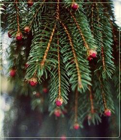 Καλλιέργεια χριστουγεννιάτικων ελάτων